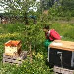 Mathieu contemple la rentrée progressive des abeilles dans les ruches.