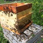 Les abeilles rentrent petit à petit dans la ruche waré de Quentin !