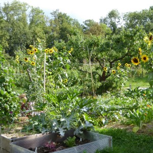 vieux jardin potager août 2015