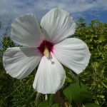 grandiflora d'ibiscus